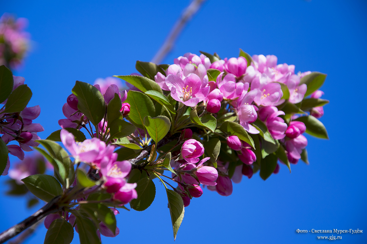Цветение яблоневых садов в Ангарских прудах. Фото - Светлана Мурси-Гудеж